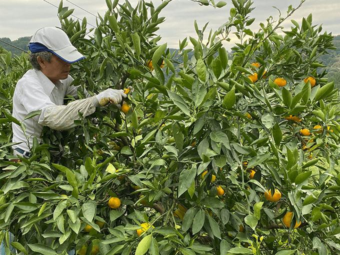 熊本・伊藤ミカン園の金峰みかんを収穫する様子