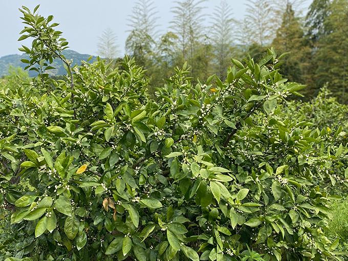 熊本・伊藤ミカン園の金峰みかんの木に咲く花