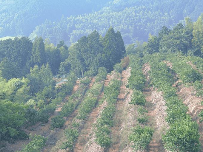 金峰みかんが育つ熊本・伊藤ミカン園のミカン山からの光景