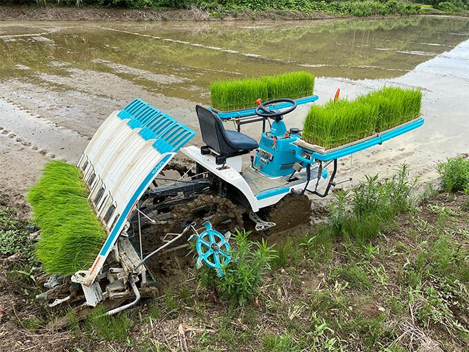 熊本の伊藤ミカン園が金峰みかんに主軸を置きながら田植えも実施する様子